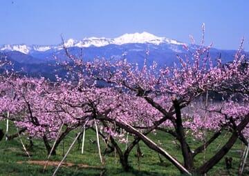 大西地区の桃の花