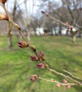 3月26日時点 桜野公園つぼみ